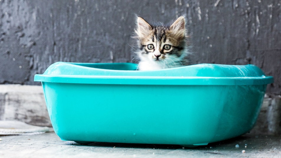 Fluffy tabby kitten sitting in a brightturquoise litter box