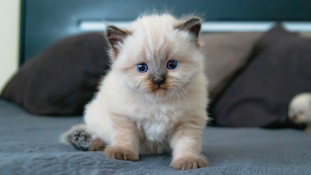 Close up to a 4 weeks old kitten, playing on a blue blanket at bed.