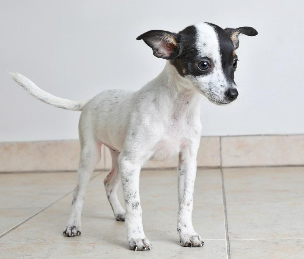 Chihuahua mix breed dog