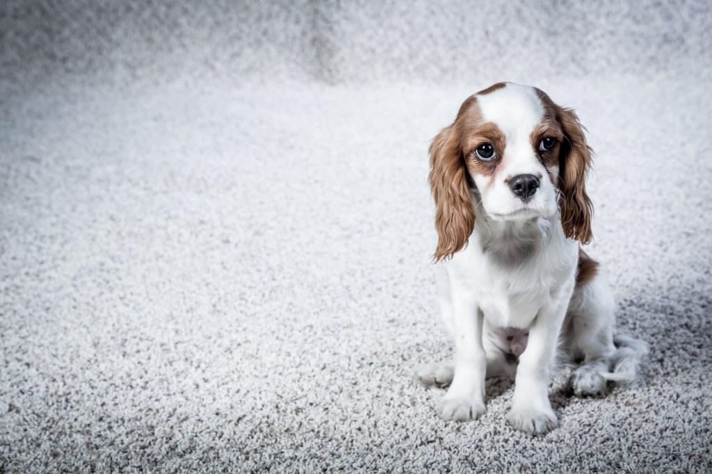 Cute Spaniel Pup