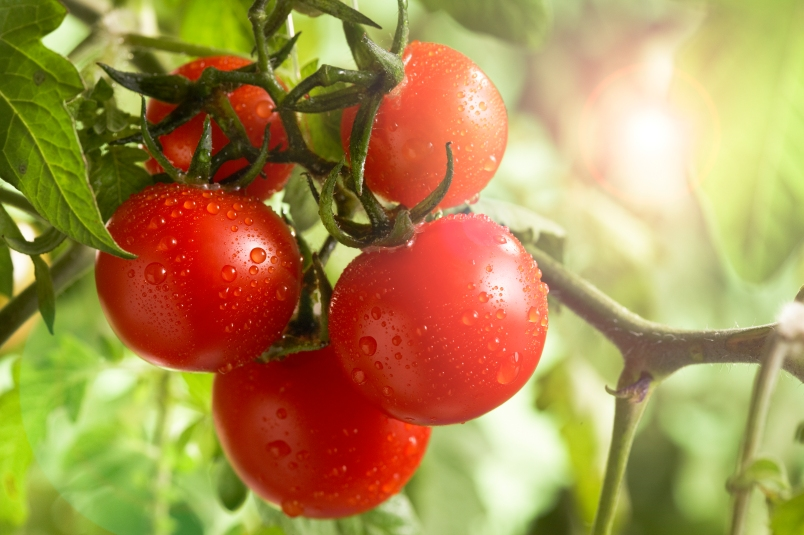 tomatoes on a tree