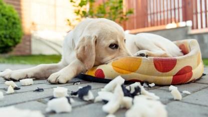 Dog hiding guilty face