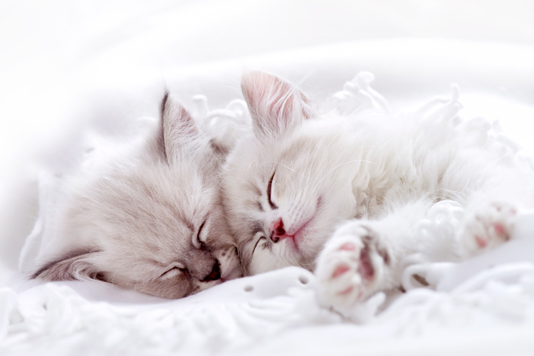 White fluffy cat wrapped in a pink blanket with white polka dots