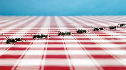 Ants on a picnic table